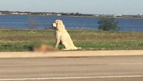 Dog Refuses To Leave Friend's Body On The Side Of The Road