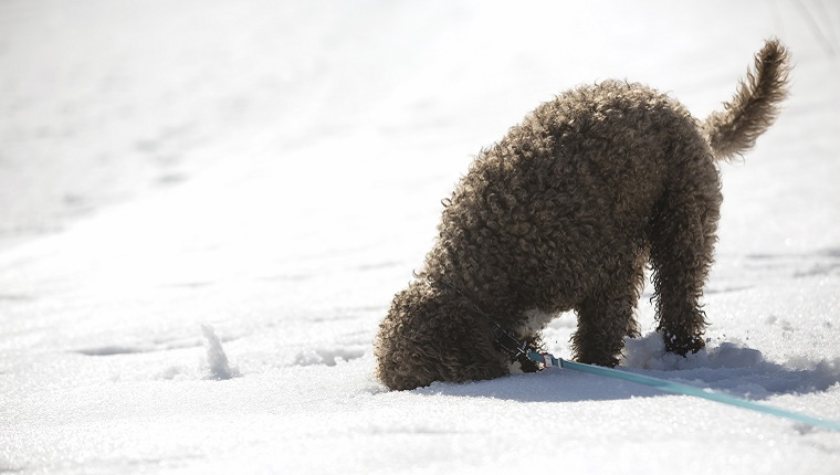 A grey, curly-haired dog on a leash buries his face in the snow.