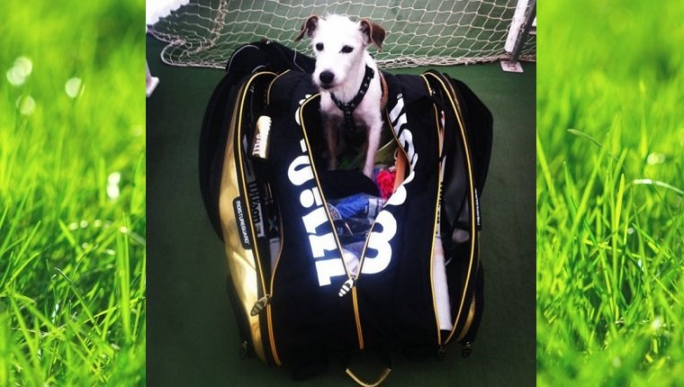 A small Jack Russell Terrier sits in a Wilson tennis bag.