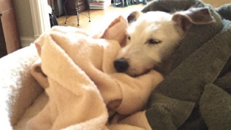 Jackie sleeps in a pile of blankets on a dog bed.