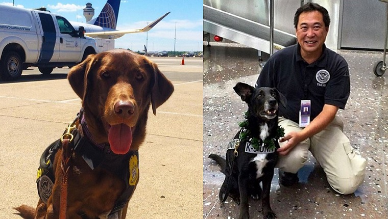 On the left, a brown service dog sits in front of a plane. On the left, a handler kneels next to a black and white service dog.