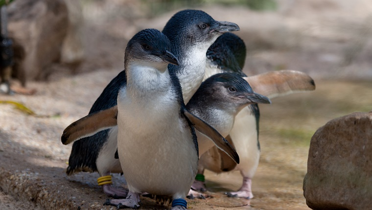 A group of four little penguins stand in a row.