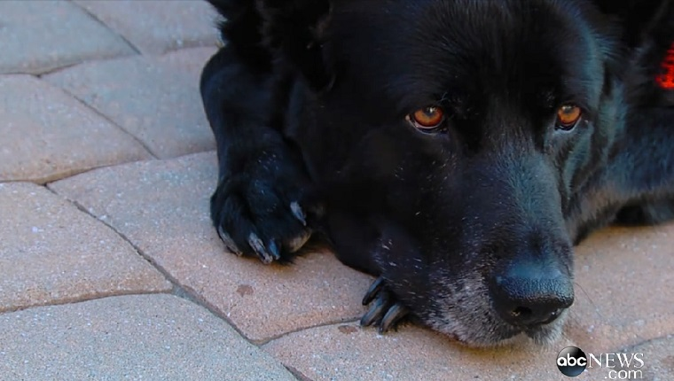 Heidi the Shepherd-Lab mix lies and rests on a brick walkway.