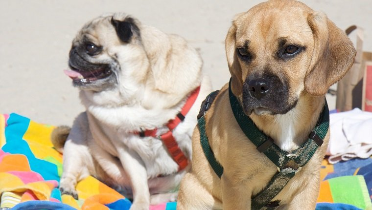 A Pug and a Puggle (beagle + pug) sitting on some colorful beach towels at the beach. The puggle puppy is sandy from running around the beach.
