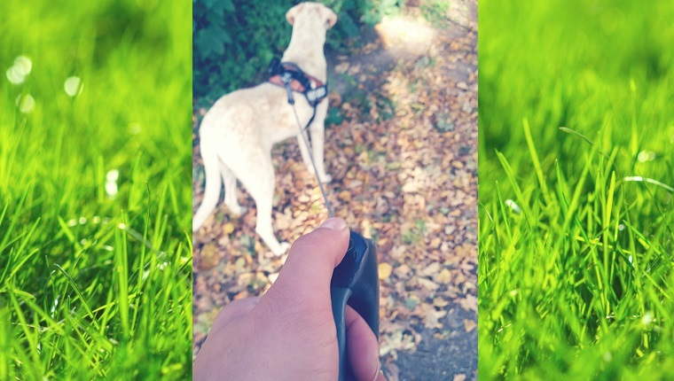 A large dog pulls on a leash while a human hand holds the handle with a thumb on the button.