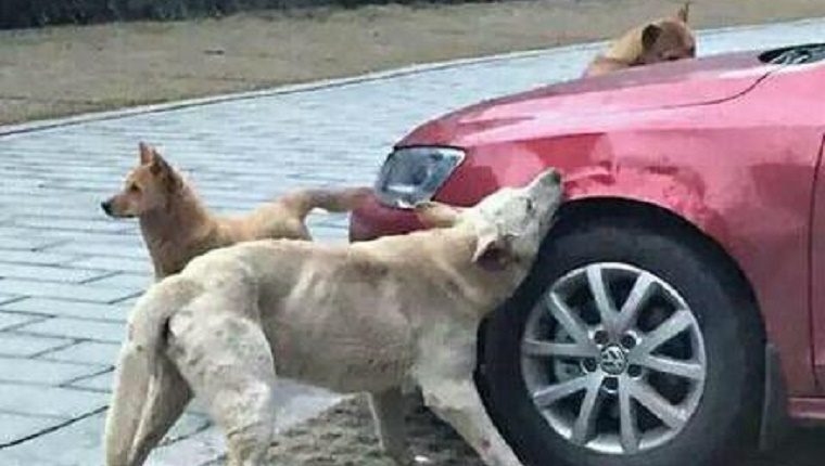 A pack of dogs surround the front of the car and bite at it.