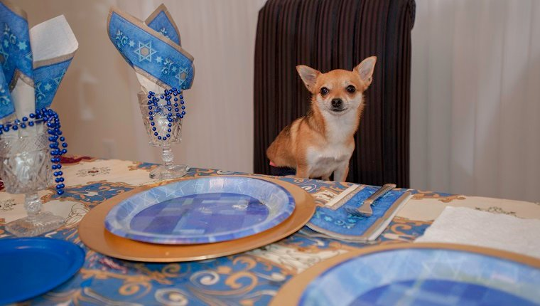 Chihuahua sitting at a jewish holiday table