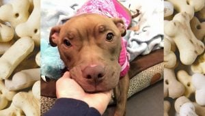 Pit Bull Who Stood Guard Over Owner And Was Banned From County Now Up For Adoption