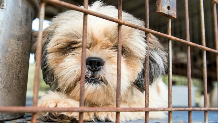 A small Shih Tzu mix lies in a cage.