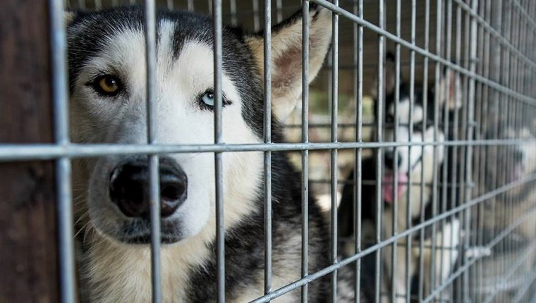 Huskies sit in cages at a puppy mill.