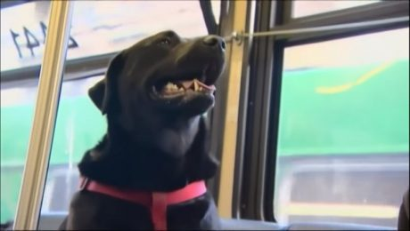 Streetwise Seattle Dog Rides City Bus To The Dog Park By Herself