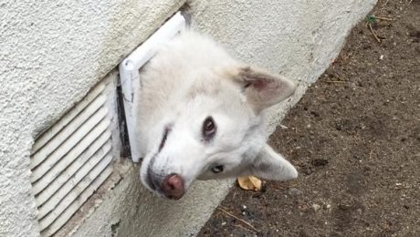 Husky Puppy Gets Stuck In A Dryer Vent And Firefighters Rescue Him