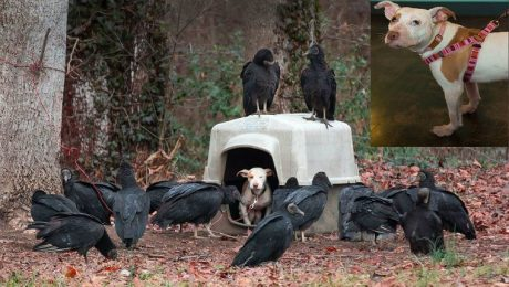Pit Bull Puppy Surrounded By Vultures Gets The Happy Home She Deserves