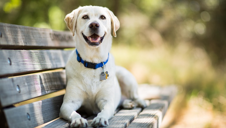 A Labrador lies on a park bench wearing a blue collar with big tags.