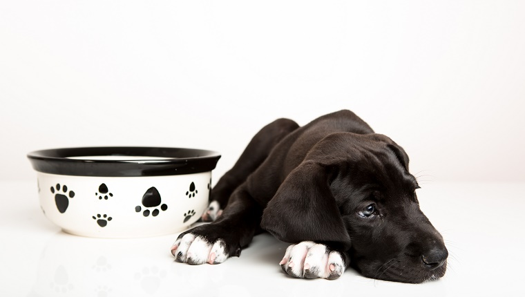 A black Great Dane puppy refuses to eat.