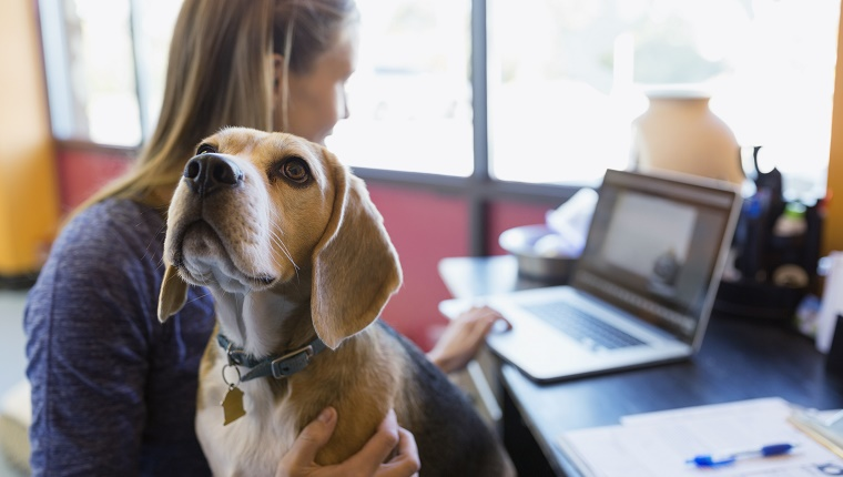 A woman types on a laptop while holding a Beagle.