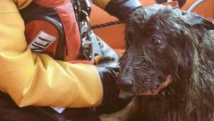 Dog Who Chased Off A Vandal Is Found And Pulled From The Sea A Mile Off Shore