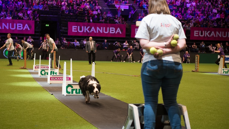 A Border Collie jumps hurdles to get to a woman holding tennis balls.