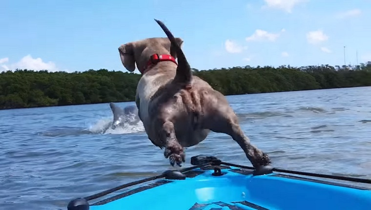 A Dachshund jumps from the front of a kayak toward a breaching dolphin.