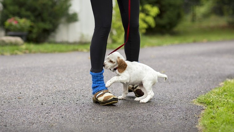 A small puppy on a leash walks over his owner's feet.