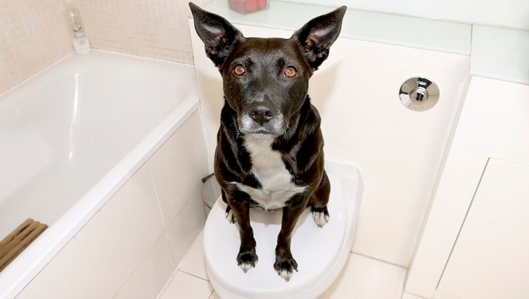 A black and white dog sits on a closed toilet seat.