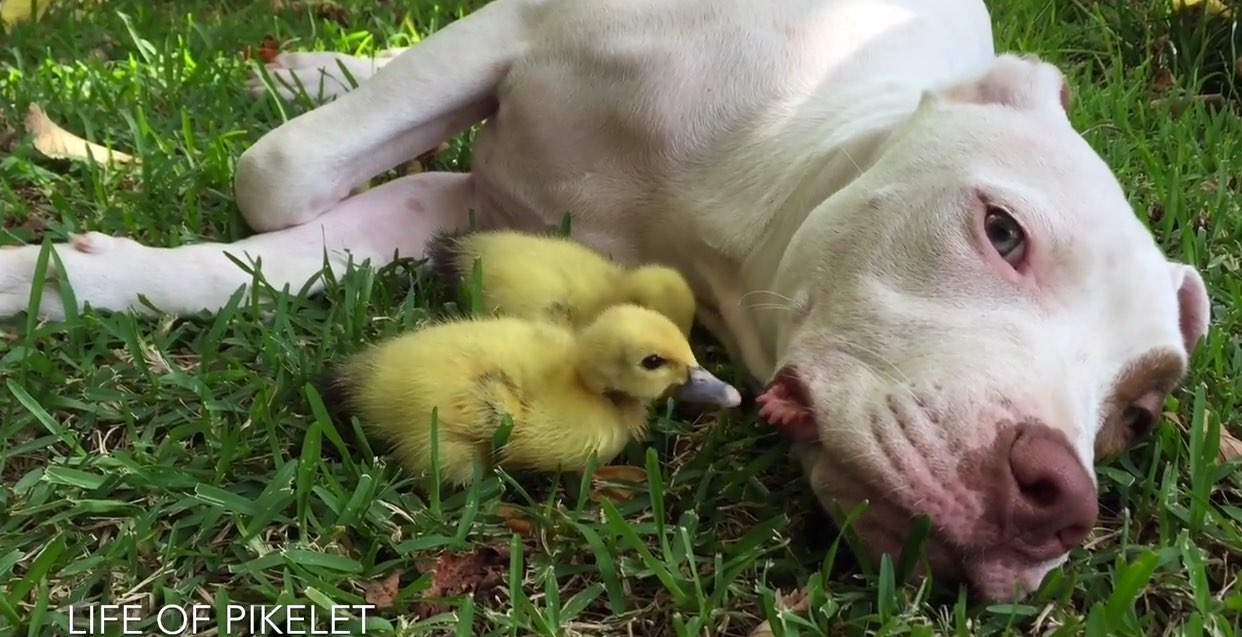 rescue-dog-ducklings-1
