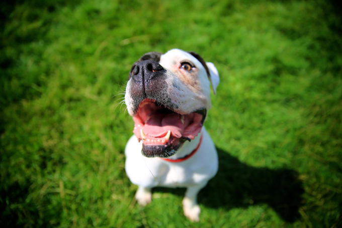 American Pit Bull Terrier Temperament Test Has Shocking Result Dogtime