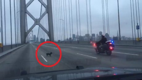 Fugitive Chihuahua Leads Police Chase Over San Francisco's Bay Bridge