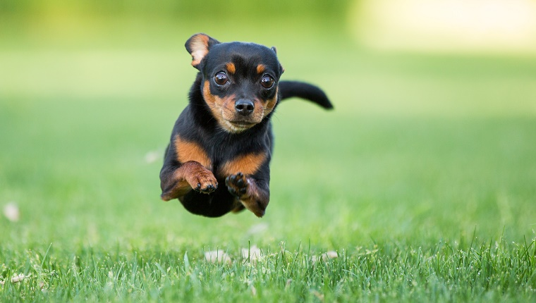 Chihuahua dog running