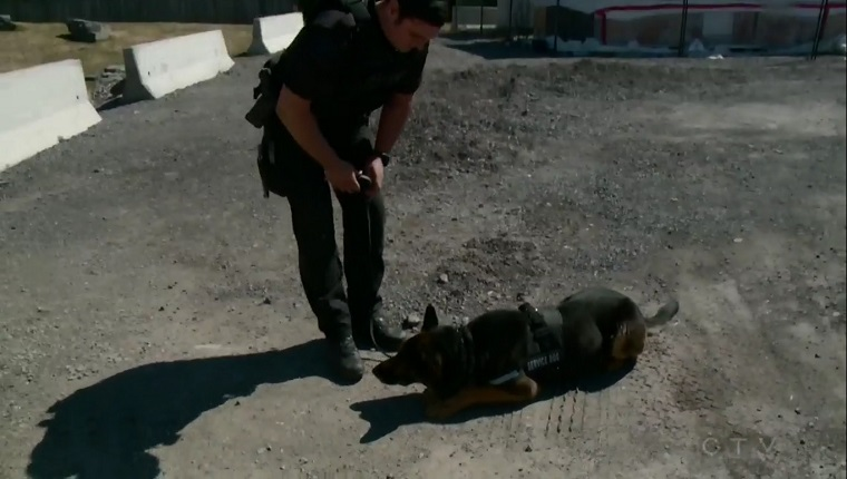 A German Shepherd lies next to an officer trainer.