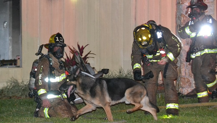 Maxx the German Shepherd walks in front of firefighters.