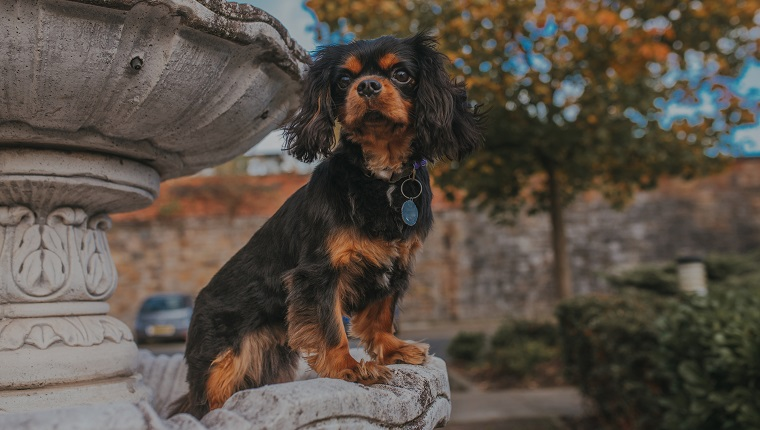 Black and tan Cavalier King Charles Spaniel dog sitting in a stone fountain with his paws on the edge. Behind him, there are fall/autumn leaves on the trees. Glasgow, Scotland, UK