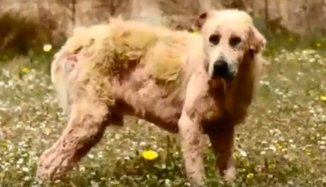 Sick Dog Rescued Outside Of Athens Greece Finally Receives Love [VIDEO]