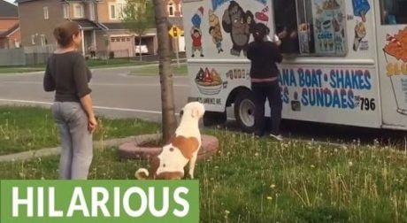 Pit Bull Waits Patiently In Line For An Ice Cream Cone [VIDEO]