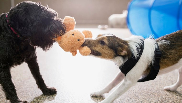 Dogs playing tug-of-war with stuffed animal