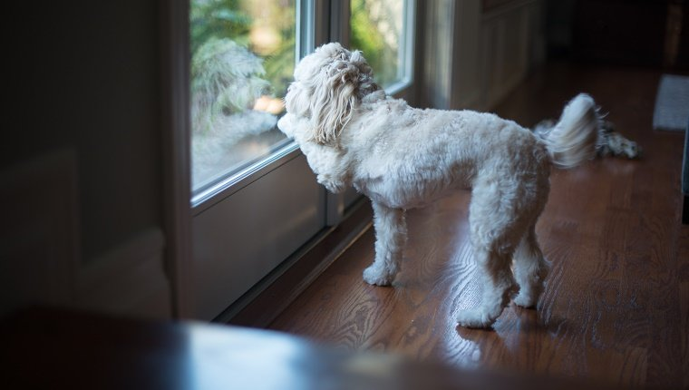 A small dog is standing in front of a french door looking outside. The dog's paw is scratching on window to go outside.