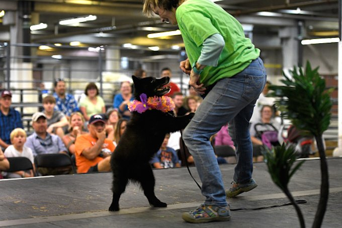 DENVER, CO - JULY 27: Rocky Mountain Dancing dogs performer Cheri Rasmussen dances with her Schipperke, Gunner on the animal stage the Denver County Fair at the National Western complex July 27, 2016 in Denver, CO. (Photo By Joe Amon/The Denver Post via Getty Images)