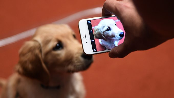 golden retriever puppy gets picture taken