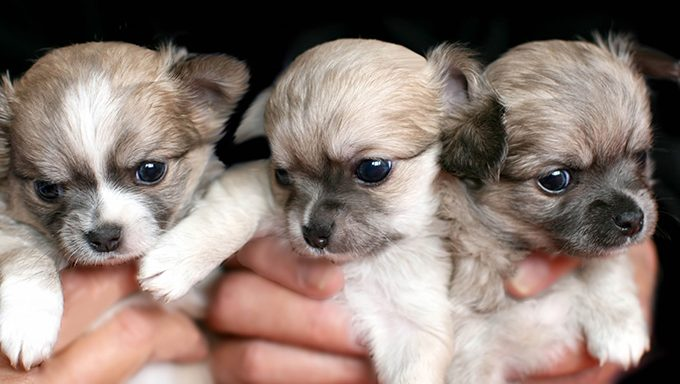 hands holding three chihuahua puppies