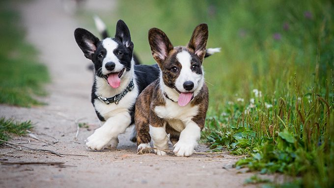 corgi puppies on sand path in grass