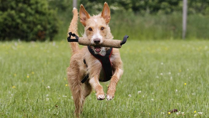 dog running with chew toy