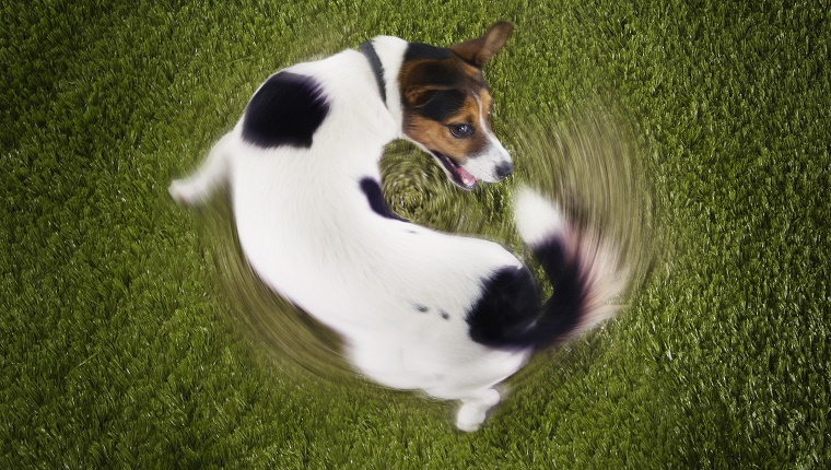 Jack Russell Terrier Chasing Own Tail