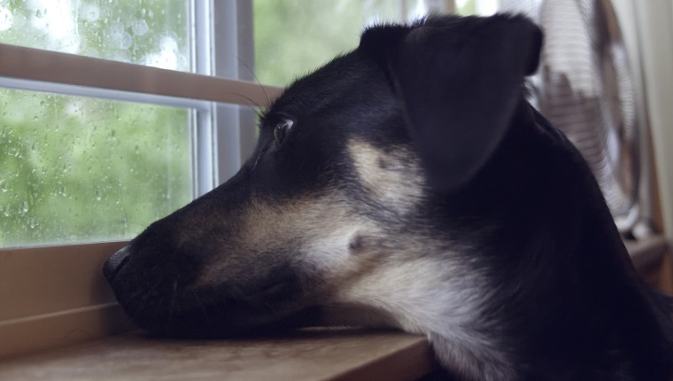 A Shepherd mix watching the rain through a window.