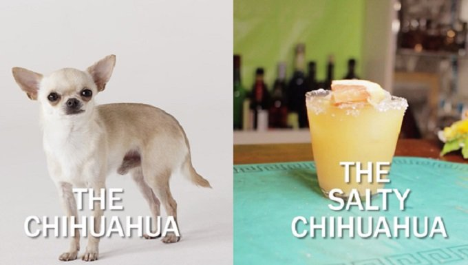 a chihuahua dog stands next to the cocktail
