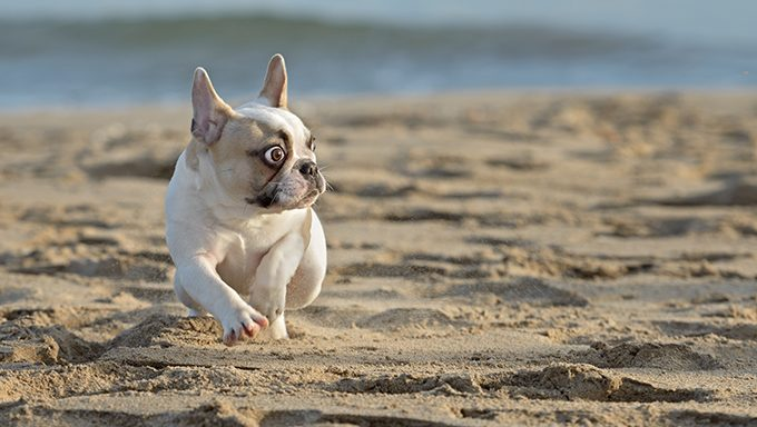 french bulldog on beach with surprised expression