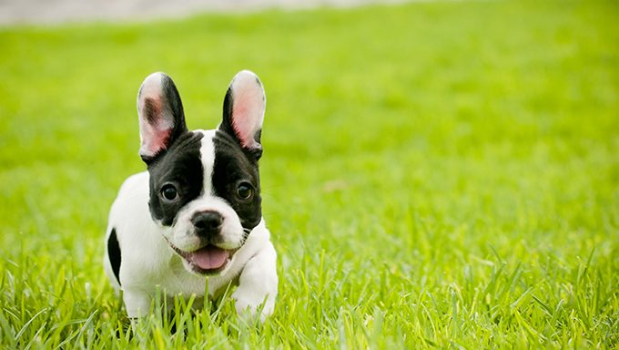 french bulldog puppy in the grass