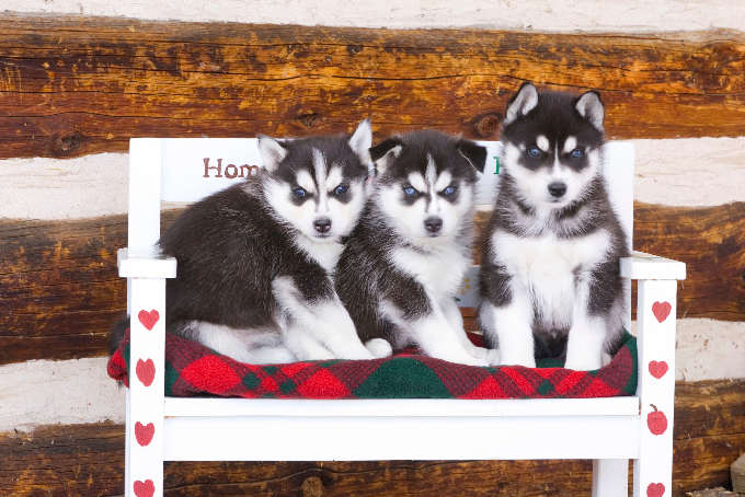 Dogs, Siberian Husky puppies, Colorado, 6wks old, rural setting, Arkansas Valley, winter, PR