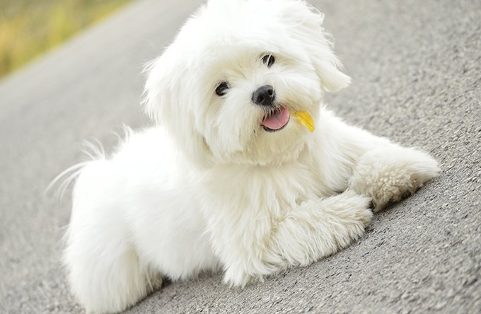 images of maltese dogs maltese puppies dogtime 6146
