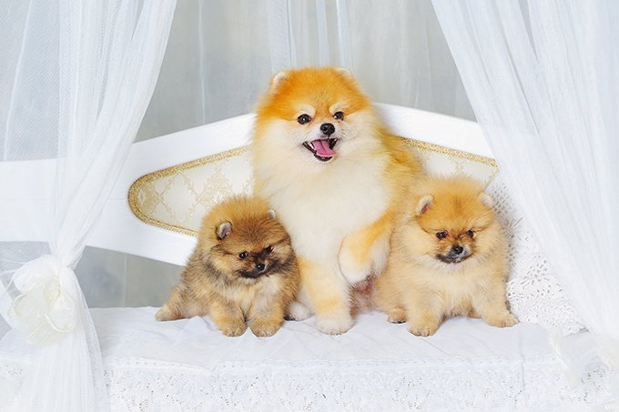 Cute Pomeranian Dog Names | www.pixshark.com - Images ...