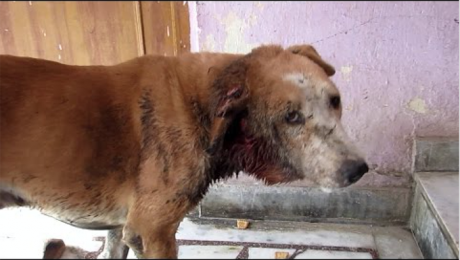 Street Dog Almost Dies From Maggot Infestation [VIDEO]